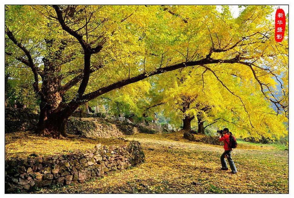 桂林海洋古村银杏